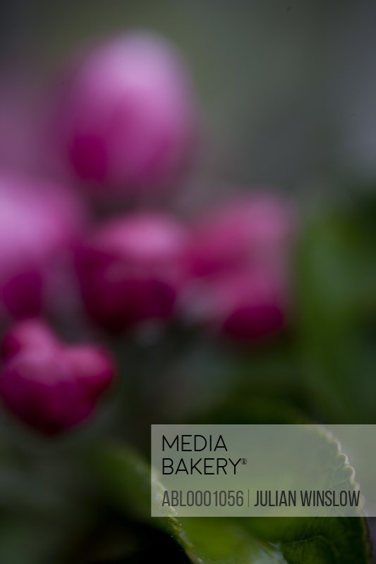 Bright pink apple blossom