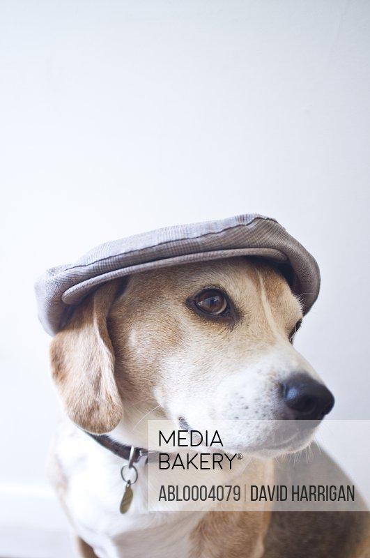 Beagle Wearing a Flat Cap