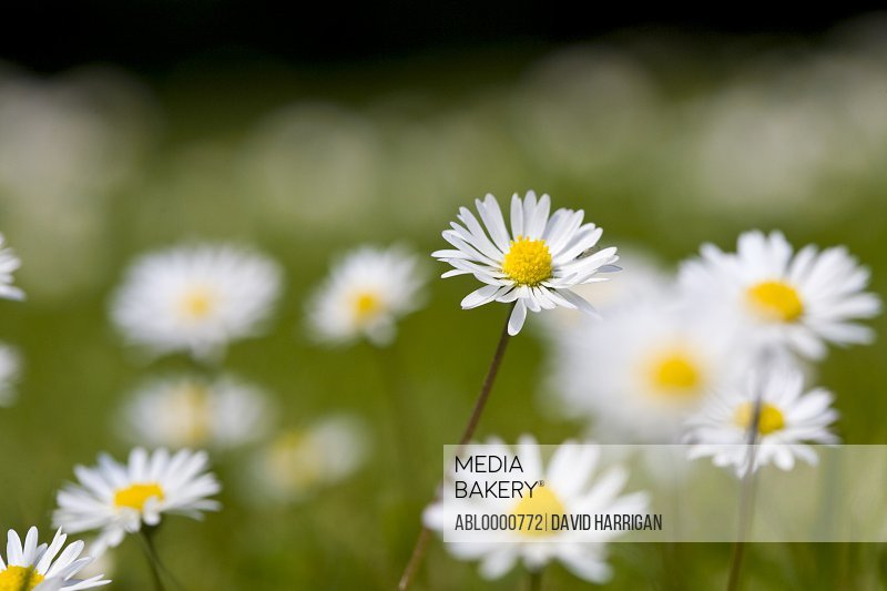 Daisies - bellis perennis