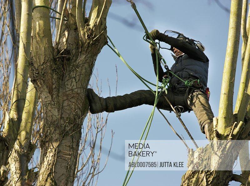 Tree Surgeon Working on Tree