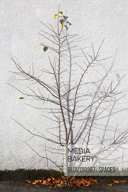 Tree Against Wall