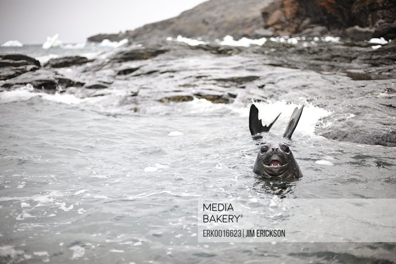Seal having fun swimming in the sea along a rocky coastline.