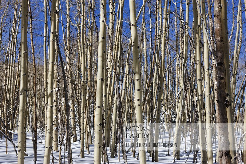 Cluster of bare trees in a snowy landscape.