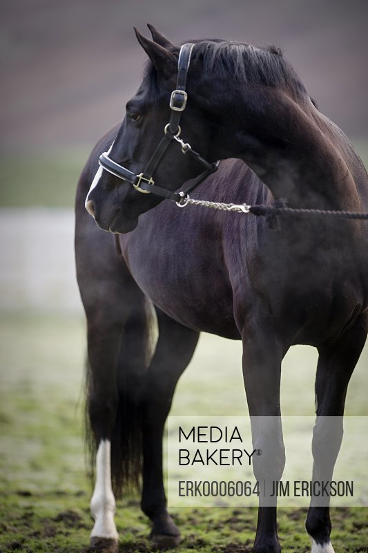 Black horse standing in a fenced paddock.