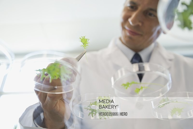 Scientist examining plants in petri dishes