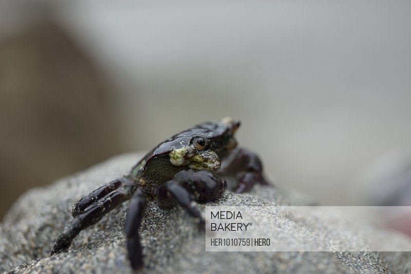 Extreme close up black sand crab