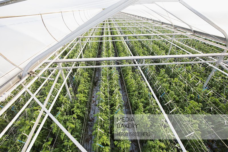 Plants growing in a row in greenhouse