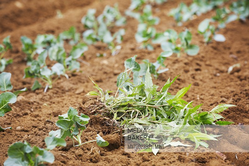 Seedlings planted in rows next to a pile of weeds.