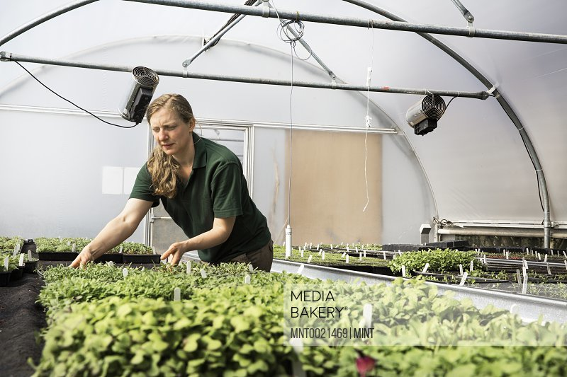 A gardener working in a polytunnel sorting seedlings in trays
