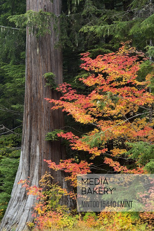 A forest maple tree with red leaves in autumn