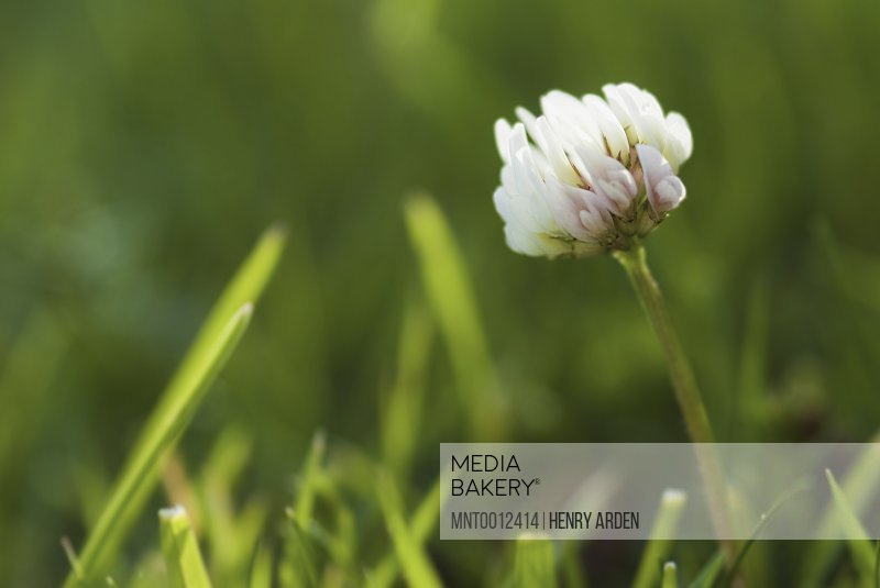 Close up of a clover flower in the grass