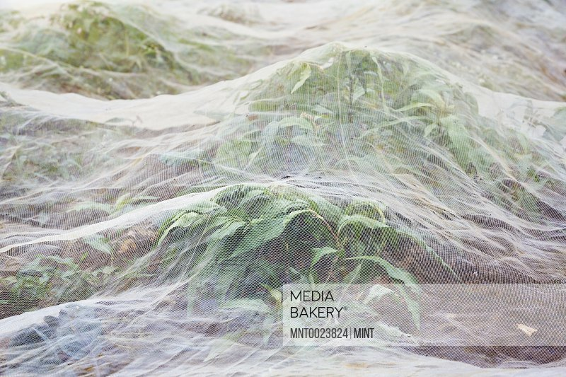 Horticultural fleece covering a growing crop.