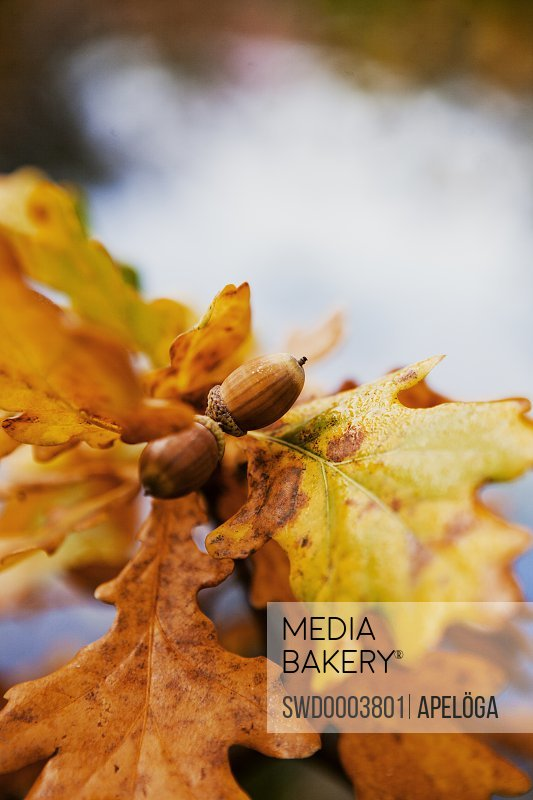 Close-up of acorns with leaves